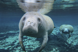 A Pair of Manatees Swimming in Fanning Springs State Park  Florida