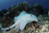 A Roughtail Stingray Swims over the Seafloor Near Turneffe Atoll