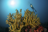 A Diver Hovers Above a Coral Colony in Komodo National Park  Indonesia