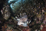 A Lionfish Hunts for Prey on a Colorful Coral Reef