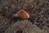 Pink Anemonefish in its Host Anenome  Fiji