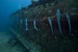 Remora's Suck the The Hull of a Shipwreck in Fiji