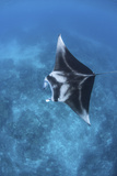A Large Reef Manta Ray Swims Through Clear Water in Raja Ampat