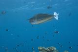 Spotted Unicornfish Swimming in Fiji Waters