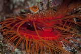 A Disco Clam on a Reef Near the Island of Sulawesi  Indonesia