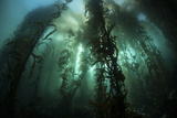 Giant Kelp (Macrocystis Pyrifera) Grows Off the Coast of California