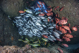 Schooling Fish Swim in a Cavern Near Cocos Island  Costa Rica