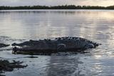 A Large American Crocodile Surfaces in Turneffe Atoll  Belize