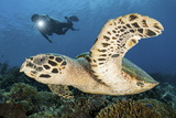 A Diver Swims Alongside a Hawksbill Sea Turtle Off of Indonesia