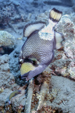 A Titan Triggerfish Faces Off with a Small Wrasse  Papua New Guinea