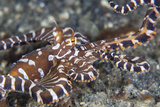 A Wonderpus Octopus Crawls across a Sand Slope