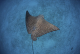 A Spotted Eagle Ray Swims over the Seafloor Near Cocos Island  Costa Rica