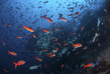 Colorful Pacific Creolefish in Deep Water Near Cocos Island  Costa Rica