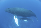 A Humpback Whale Mother and Calf in the Caribbean Sea