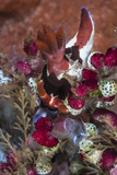 A Colorful Nudibranch Eeds on Tunicates
