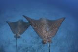 Spotted Eagle Rays Swim over the Seafloor Near Cocos Island  Costa Rica