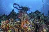 A Scuba Diver Swims Above a Colorful Coral Reef Near Sulawesi  Indonesia