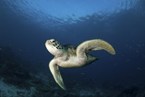 A Green Turtle Swimming in Komodo National Park  Indonesia
