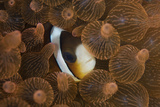 A Clark's Anemonefish Nuggles into the Tentacles of its Host Anemone
