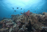 Schooling Anthias Fish and Healthy Corals of Beqa Lagoon  Fiji