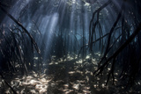 Beams of Sunlight Filter Among the Prop Roots of a Mangrove Forest