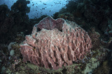 A Massive Barrel Sponge Grows N the Solomon Islands