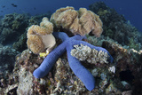 A Blue Starfish Clings to a Coral Reef in Indonesia