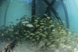 School of Grunt Fish Beneath a Pier on Turneffe Atoll  Belize