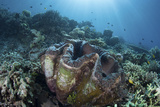 A Giant Clam Grows on a Reef in Raja Ampat