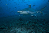 Silvertip Shark at the Bistro Dive Site in Fiji