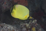 Latticed Buterflyfish  Fiji