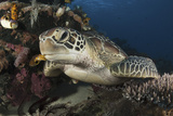 A Green Turtle Resting on a Reef Top in Komodo National Park  Indonesia