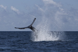A Humpback Whale Slaps its Tail on the Surface of the Atlantic Ocean