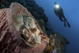 A Diver Looks on at a Tassled Scorpionfish Lying in a Barrel Sponge
