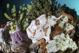 A Giant Frogfish Blends into its Reef Surroundings in Indonesia