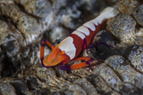 A Colorful Emperor Shrimp Sits Atop a Sea Cucumber