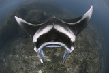 A Reef Manta Ray Swimming Above a Reef Top  Indonesia