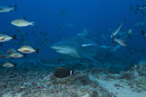 A Large Bull Shark at the Bistro Dive Site in Fiji