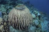 A Massive Barrel Sponge Grows on a Reef Near Alor  Indonesia