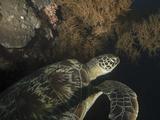 Green Turtle  Bunaken Marine Park  Indonesia