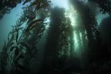 Giant Kelp (Macrocystis Pyrifera) Grows Off the Coast of California