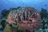 A Massive Barrel Sponge Grows on a Healthy Coral Reef