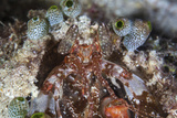 A Mantis Shrimp Peers Out of its Lair on a Reef in Indonesia