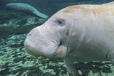 A Close-Up Head Profile of a Manatee in Fanning Springs State Park  Florida