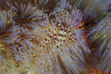 A Pair of Coleman's Shrimp Live Among the Venomous Spines of a Fire Urchin
