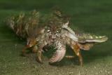 Anemone Hermit Crab Running across Sand in Green Light