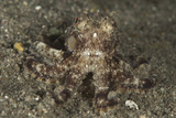 A Young Day Octopus on Black Volcanic Sand