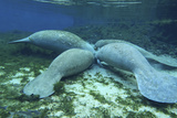 Manatees Congregate to Feed on Algae at Fanning Springs State Park  Florida