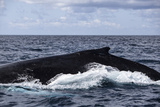 A Large Humpback Whale Swims at the Surface of the Atlantic Ocean