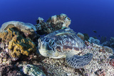 A Large Green Sea Turtle Lays on the Reef Near Sulawesi  Indonesia